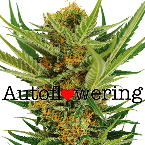Buy Jack Herer Autoflower Seeds