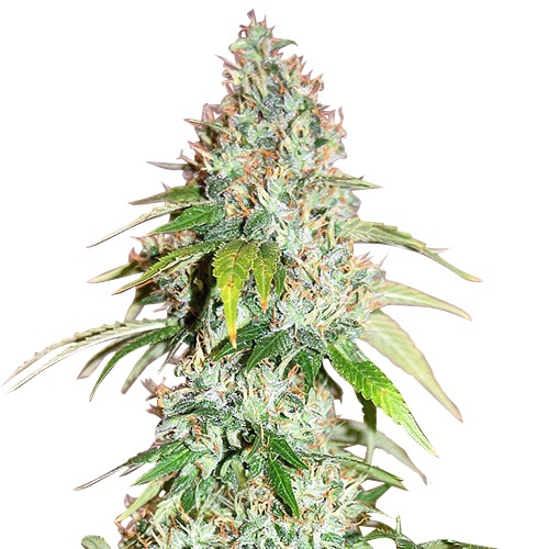 Buy Master Kush Seeds