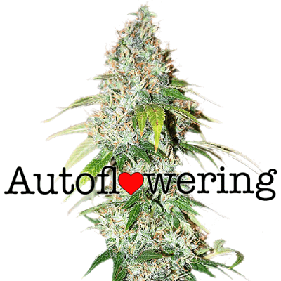 OG Kush Autoflower Seeds