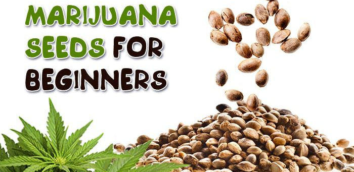 Best Marijuana Seeds for Beginners