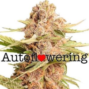 Buy Girl Scout Cookies Extreme Autoflower Seeds