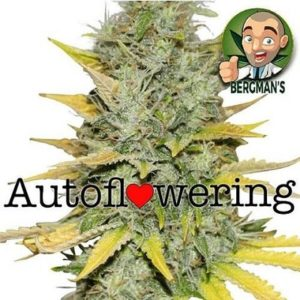 Buy Gold Leaf Autoflower Seeds