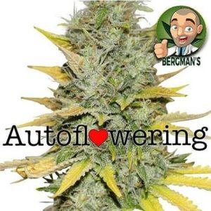 Buy Gold Leaf Autoflower Seeds