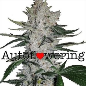 Buy Gorilla Glue Autoflower Seeds