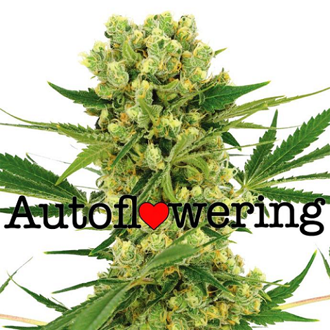 Buy Amnesia Haze Autoflower Seeds