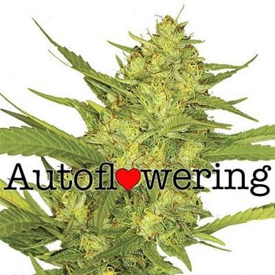 Buy Sour Diesel Autoflower Seeds