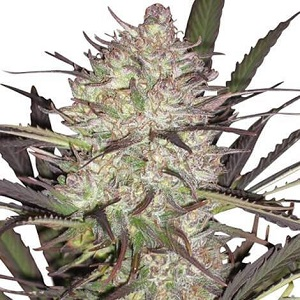 Durban Poison Marijuana Seeds