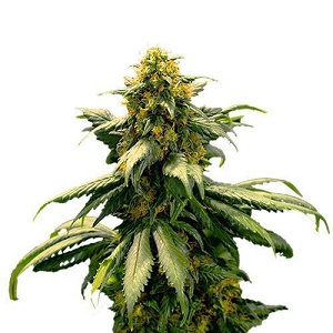 Harlequin Marijuana Seeds