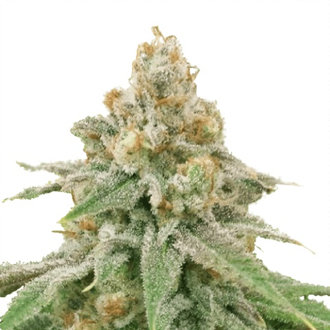 Wedding Cake Marijuana Seeds