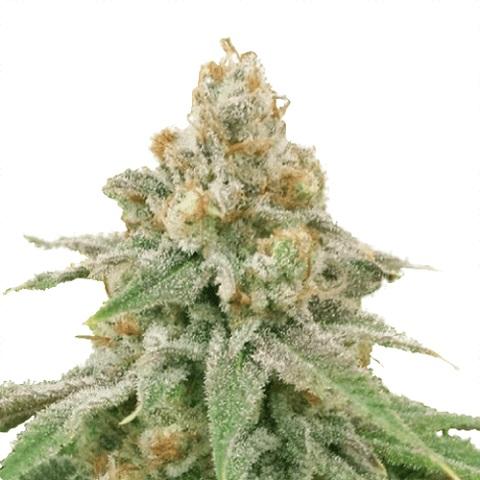 Wedding Cake Marijuana Seeds