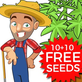 Best Feminized Autoflowering Seeds