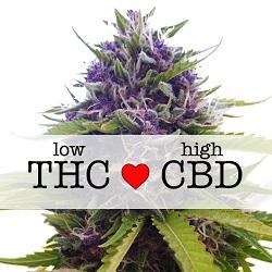 CBD Blueberry Medical Seeds