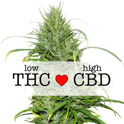 CBD Carmagnola Medical Seeds