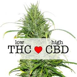 CBD Carmagnola Medical Seeds