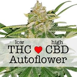CBD Critical Mass Autoflower Medical Seeds