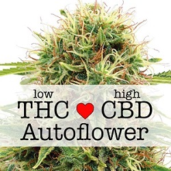 CBD Kush Autoflower Medical Seeds