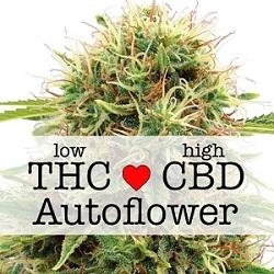 CBD Kush Autoflower Medical Seeds