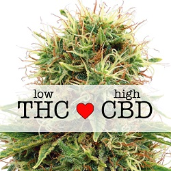CBD Kush Medical Seeds