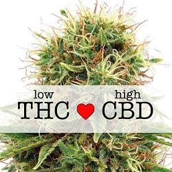 CBD Kush Medical Seeds