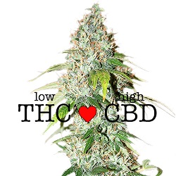 CBD OG Kush Medical Seeds