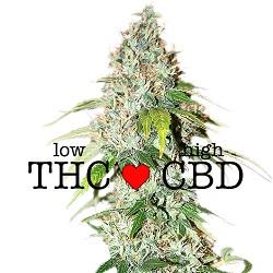 CBD OG Kush Medical Seeds