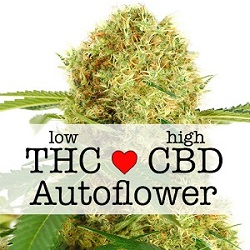 CBD White Widow Autoflower Medical Seeds