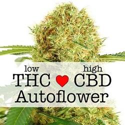 CBD White Widow Autoflower Medical Seeds