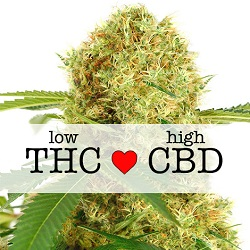 CBD White Widow Medical Seeds
