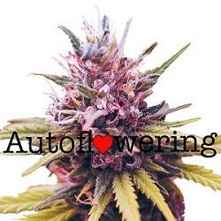 Buy Zkittlez Autoflower Seeds