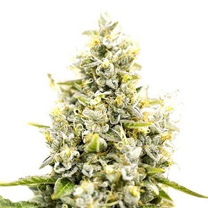 Sunset Sherbet Marijuana Seeds