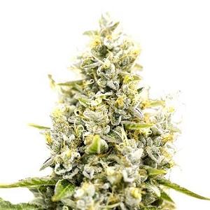 Sunset Sherbet Marijuana Seeds