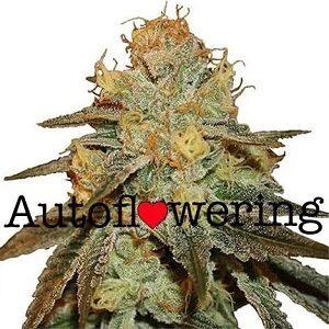 Buy Bruce Banner Autoflower Seeds
