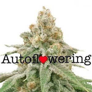 Buy Wedding Cake Autoflower Seeds
