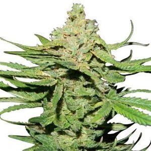Cannatonic Marijuana Seeds