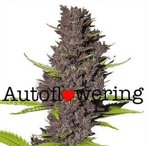 Buy Blue Dream Autoflower Seeds