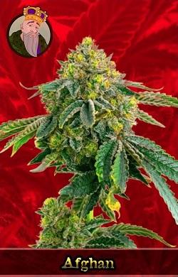 Afghan Feminized Cannabis Seeds