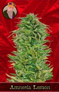 Amnesia Lemon Feminized Cannabis Seeds