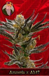 Amnesia x AK 47 Feminized Cannabis Seeds