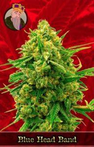 Blue Head Band Feminized Cannabis Seeds