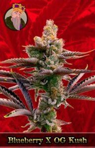 Blueberry X OG Kush Feminized Cannabis Seeds