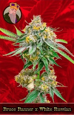 Bruce Banner x White Russian Feminized Cannabis Seeds
