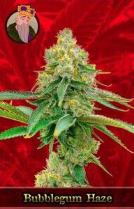 Bubblegum Haze Feminized Cannabis Seeds