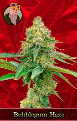 Bubblegum Haze Feminized Cannabis Seeds