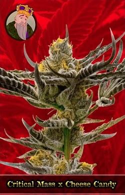 Critical Mass x Cheese Candy Feminized Cannabis Seeds