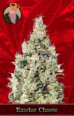 Exodus Cheese Feminized Cannabis Seeds