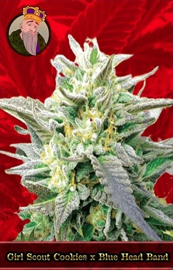 Girl Scout Cookies x Blue Head Band Feminized Cannabis Seeds