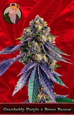 Grandaddy Purple x Bruce Banner Feminized Cannabis Seeds