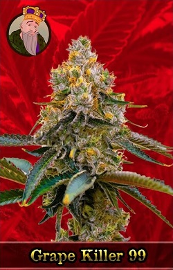 Grape Killer 99 Feminized Cannabis Seeds