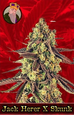 Jack Herer X Skunk Feminized Cannabis Seeds