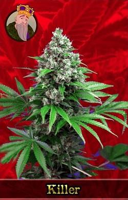 Killer Feminized Cannabis Seeds